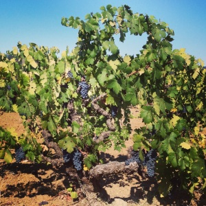 Old Zinfandel Vines at Hayne Vineyard, Chase Cellars